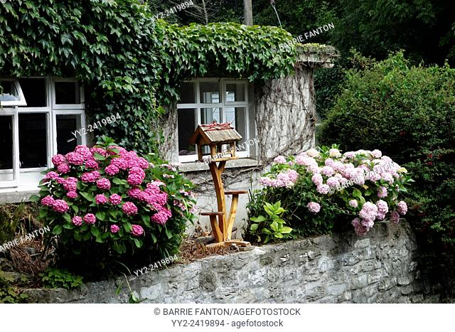 Cottage Covered in Ivy, and Hydrangea, Cong, Ireland, Europe