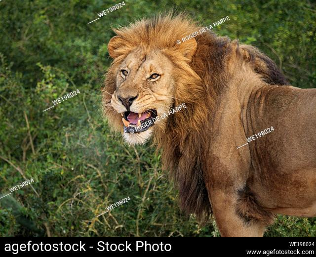 Lion (Panthera leo) showing flehmen position, flehmen reaction, flehmen response or flehmening in responce to smelling a female's urine. Eastern Cape