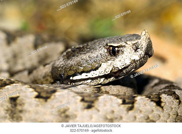 Snub-nosed Viper (Vipera latastei). Camarena de la Sierra, Teruel province, Aragón, Spain