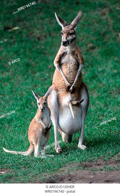 Red, Kangaroos, female, with, young,Macropus, rufus