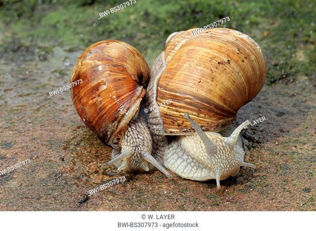 Roman snail, escargot, escargot snail, edible snail, grapevine snail, vineyard snail, vine snail (Helix pomatia), two animals side by side on rock