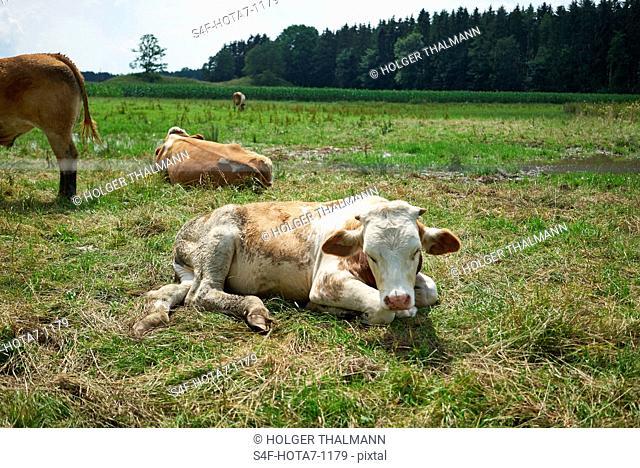 Deutschland, Bayern, Iffeldorf, Kühe auf der Weide