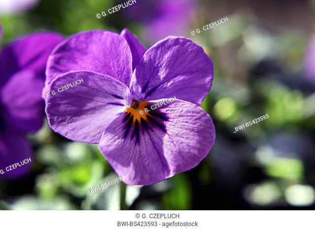 horned pansy, horned violet (Viola cornuta), flower