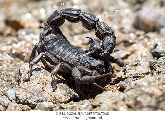 Close-up of venomous Scorpion (Parabuthus sp. ) - Huab Conservancy, Damaraland, Namibia, Africa