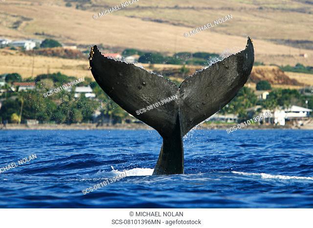 Adult humpback whale Megaptera novaeangliae tail-slapping off Mala Wharf in the AuAu Channel, Maui, Hawaii, USA Pacific Ocean