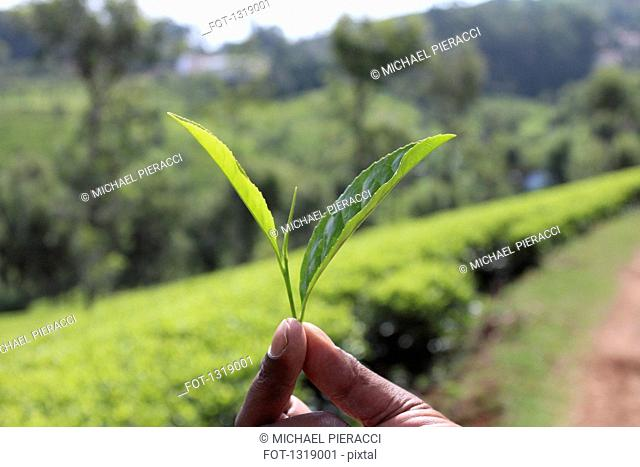Close-up of hand holding tea leaves in farm
