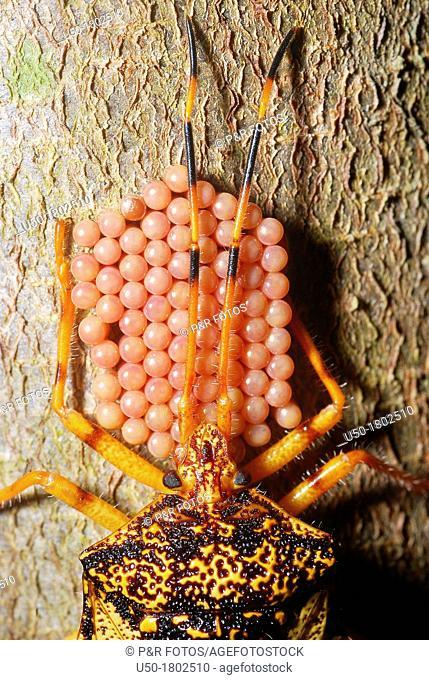 Stink bug on parental care Pentatomidae, Heteroptera, Hemiptera  1  eggs before eclosion  2012
