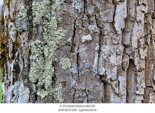 Typical bark of a walnut tree with lichen