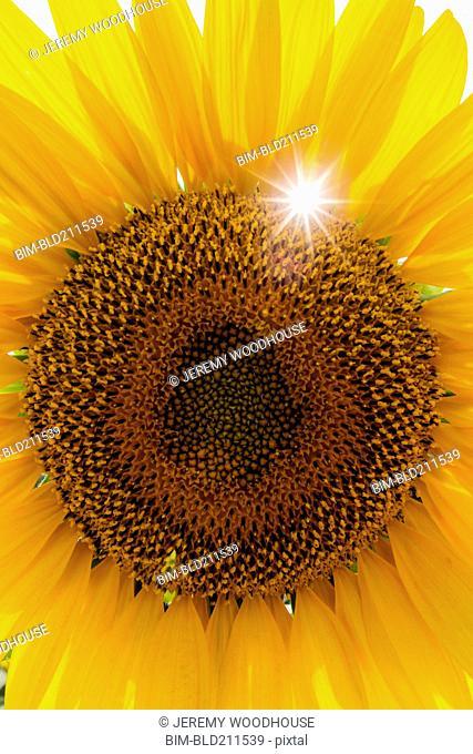 Close up of yellow sunflower