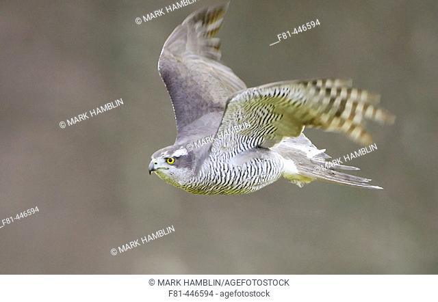 Goshawk (Accipiter gentilis) adult in flight. Scotland. (captive-bred bird)