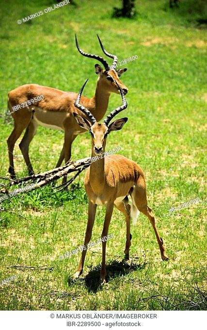 Impala (Aepyceros melampus), Bwabwata National Park, Caprivi National Park, Mahango National Park, Caprivi, Namibia, Africa