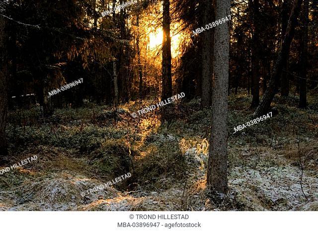 Sweden, Muddus National park, forest, sunlight, winter