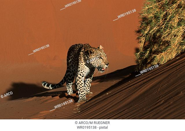 Leopard, on, sand, dune, Namibia, Panthera, pardus