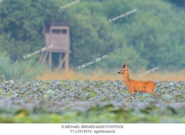 Western Roe Deer (Capreolus capreolus), Roebuck, Hesse, Germany, Europe