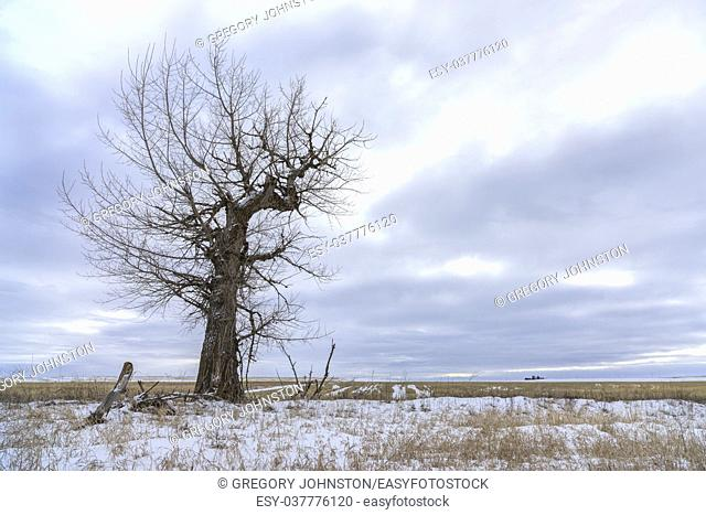 A barren tree in a snowy field stands under a cloudy sky near Davenport, Washington