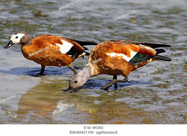 South African shelduck (Tadorna cana), couple searching food at a watering place, side view, South Africa, Eastern Cape, Mountain Zebra National Park