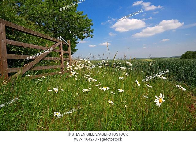 Gate, wildflowers and wheat field,Thixendale, Wolds, North Yorkshire, England, UK