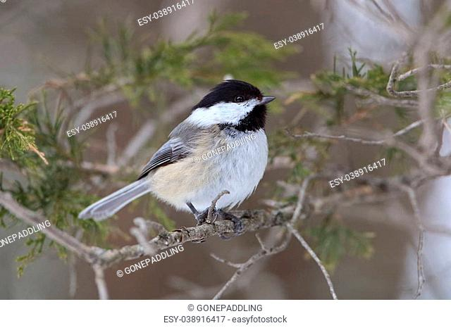 Black-capped Chickadee (Poecile atricapillus) Perched in a Red Cedar Tree in Winter - Ontario, Canada