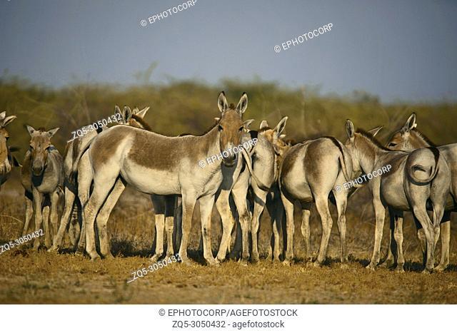 Asiatic Wild Ass, Equus hemionus khur, Little Rann of Kutch, Gujarat