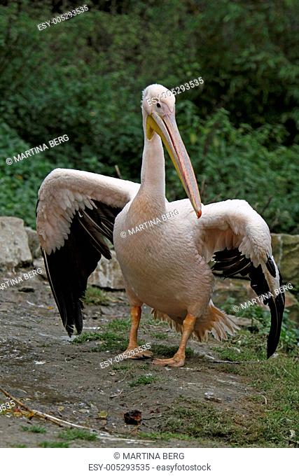 Rosapelikan mit ausgebreiteten Flügeln