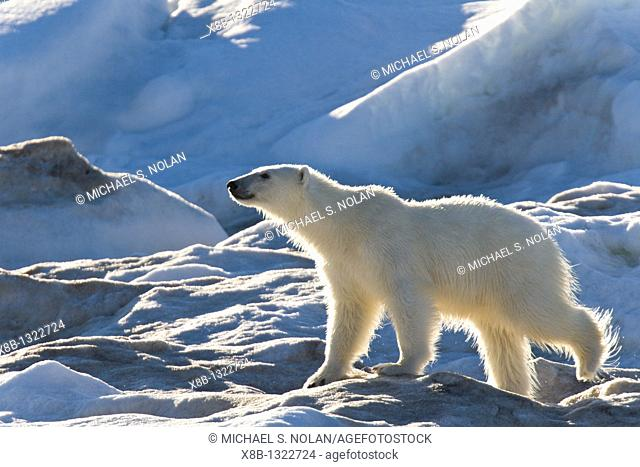 Polar bear Ursus maritimus on multi-year ice floes in the Barents Sea off the eastern coast of Edge¯ya Edge Island in the Svalbard Archipelago, Norway
