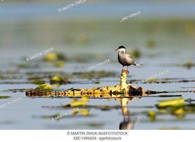 Whiskered Tern or Marsh Tern chlidonias hybridus in the Danube Delta Europe, Eastern Europe, Romania, Danube Delta
