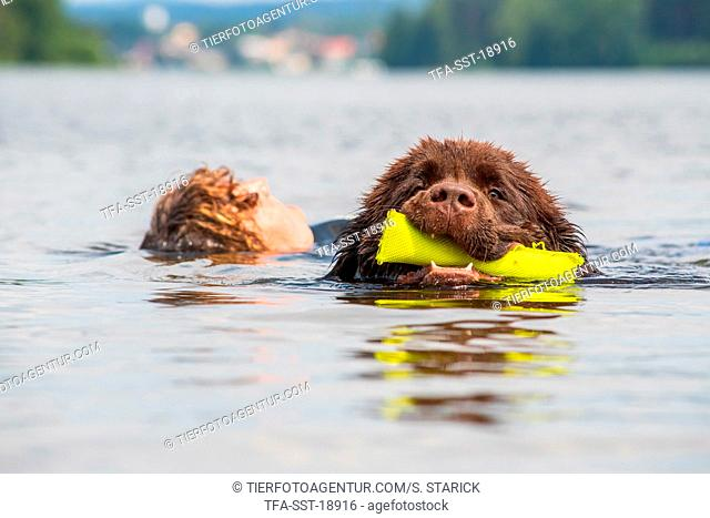 Newfoundland is trained as a water rescue dog