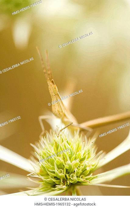 Bulgaria, Haskovo region, Rhodopes Mountain, Madzharovo, nosed grasshopper (Acrida ungarica)