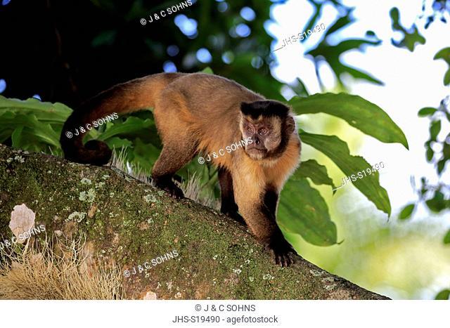Brown Capuchin, Tufted Capuchin, Black-capped Capuchin, (Cebus apella), adult on tree, Pantanal, Mato Grosso, Brazil, South America
