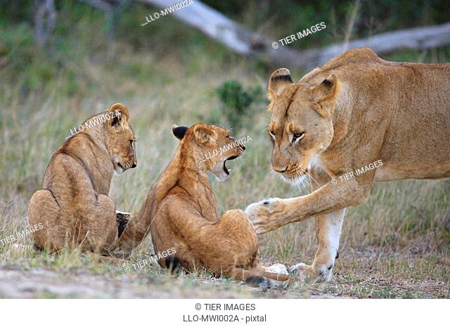 Lioness Panthera leo, gently swatting one of her cubs