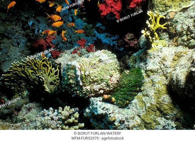 Stonefish camouflaged in Reef, Synanceia verrucosa, Sharm el Sheikh, Sinai, Red Sea, Egypt
