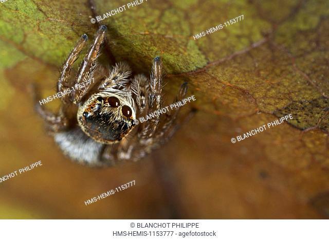 France, Araneae, Salticidae, Jumping spider (Evarcha arcuata), female
