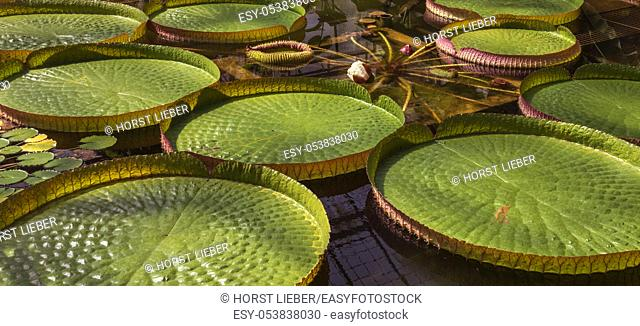 Leaves and blossom of a giant water lily. Botanical Garden University of Karlsruhe, Germany