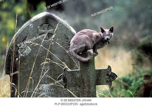 Domestic cat Felis catus sitting on tombsone at churchyard, England, UK