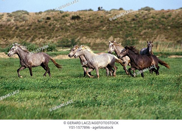 Lusitano Horse, Herd Trotting through Meadow