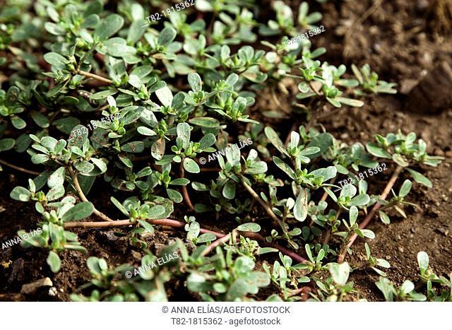 Portulaca oleracea purslane plant, Andévalo, Sierra de Aracena, Huelva, Andalusia, Spain, Europe
