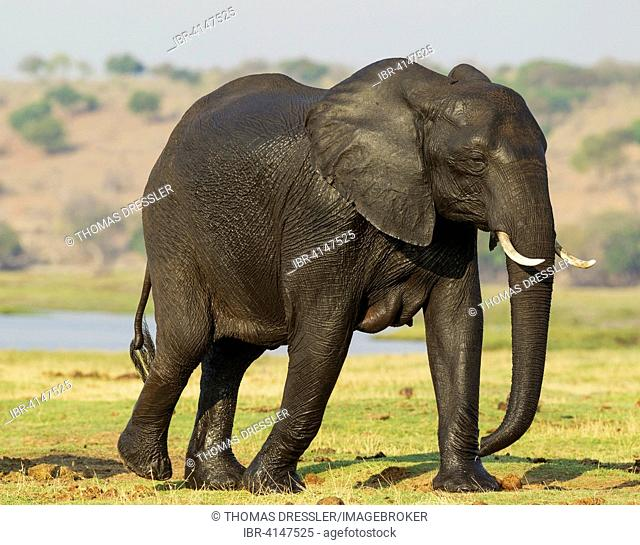African Elephant (Loxodonta africana), female with wet skin has been crossing the Chobe River, Chobe National Park, Botswana