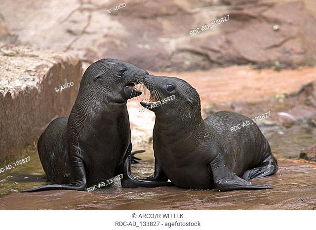 Californian Sea Lions youngs Zalophus californianus