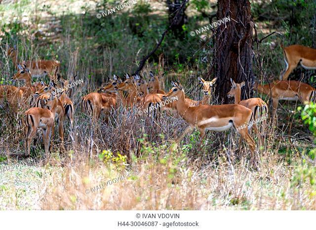 Impala, Aepyceros melampus, Tanzania, East Africa