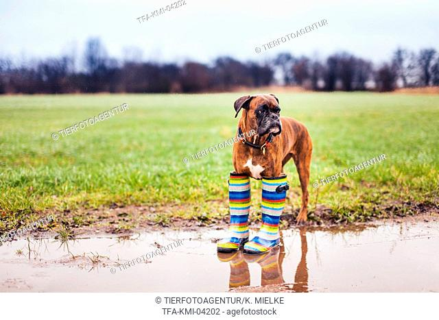German Boxer with gumboots