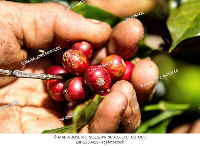 Coffee picking season in Costa Rica. Coffee grains