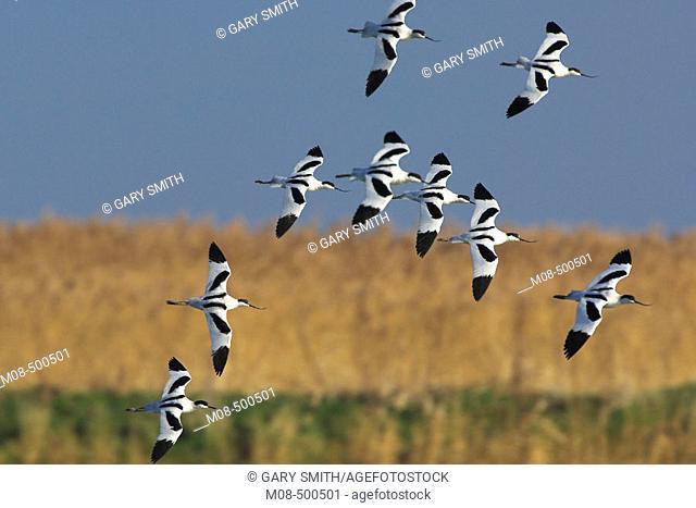 Avocets (Recurvirostra avosetta) small group of over wintering birds in flight over coastal scrape, Norfolk, January