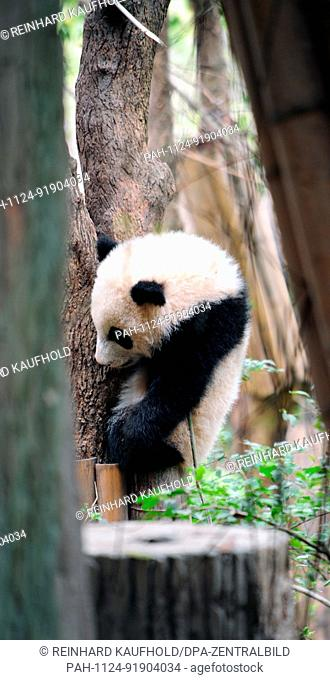 The panda bear is a rare species at risk of extinction. They can be seen at China's biggest panda breeding centre in Chengdu in the south west of the country