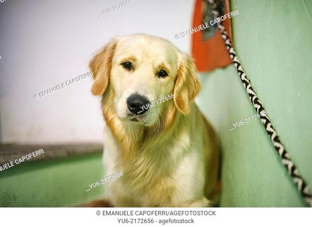 Portrait of golden retriever dog