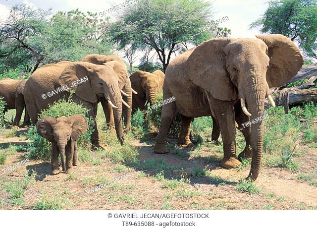 Africa, Kenya, Samburu. Elephant  (Loxodonta africana)