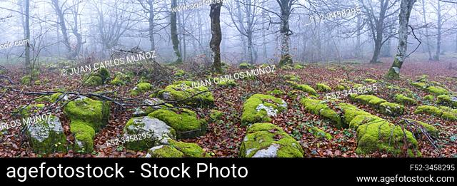 Beech forest in autumn, Monumento Natural Monte Santiago, Salto del Nervion, Nervion river, Berberana, Burgos, Castilla y Leon, Spain, Europe