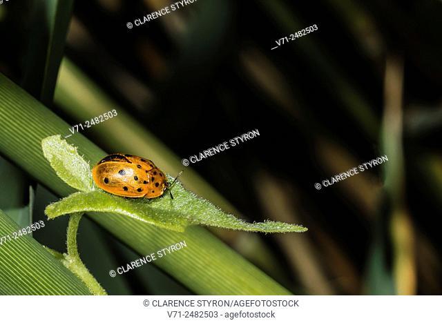 Argus Tortoise Beetle; Beetle (Chelymorpha cassidea) Feeding on Morning Glory (Ipomea sp. ) Among Phragmites australis Stems