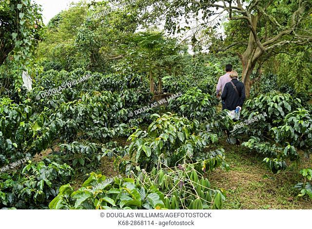 A coffee farm near Filandia, Colombia, South America
