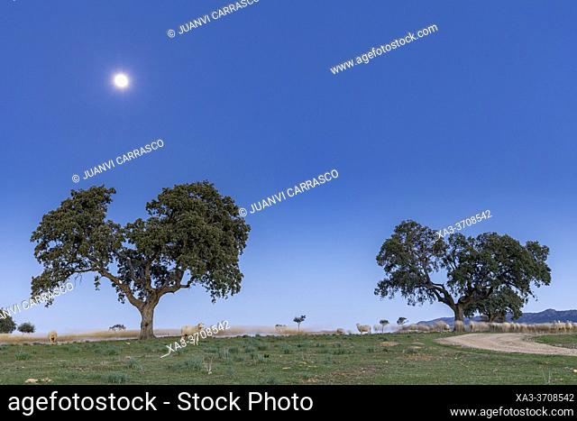 Olm oaks and sheeps at night, Ciudad Real countryside, Spain
