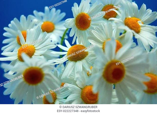 Camomile flowers against blue sky